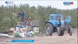 Четыреста миллионов - на развитие садоводства на Ставрополье