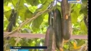 В Мордовии увеличилось производство тепличных овощей