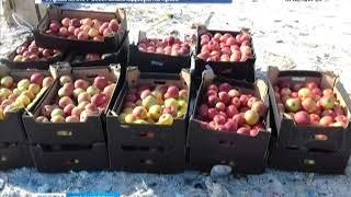 Тонну санкционных яблок отправили под бульдозер