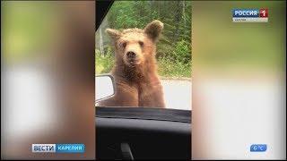 Ситуация с выходом медведей в населенные пункты в Карелии стабилизировалась