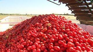 В Среднеахтубинском районе механизировали уборку помидоров