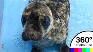Сотрудникам калининградского зоопарка удалось спасти умирающего тюленёнка