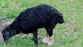 В Кургане поставят на ноги овечку Бяшу, у которой были обморожены обе конечности
