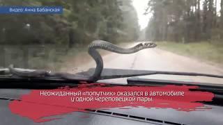 Ползучий пассажир: змея вылезла на капот машины ВИДЕО