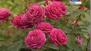 Жительница посёлка Гирсово вырастила почти 200 сортов роз (ГТРК Вятка)