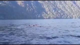 Медвежью семью, переплывающую Телецкое озеро, сняли на видео