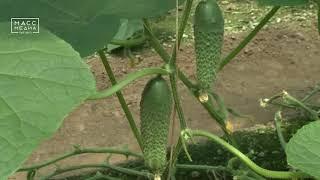 На Камчатке появятся дешевые огурцы и помидоры