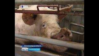 Региональные власти помогут переработчикам мяса, которые пострадали от АЧС
