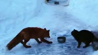 На Камчатке кот и лисица не поделили миску с едой
