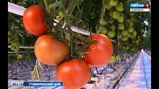 Помидоры круглый год будут выращивать на Ставрополье