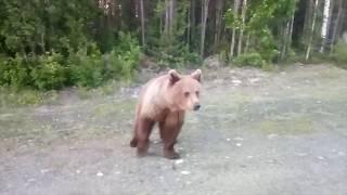 Медведь в Беломорском районе