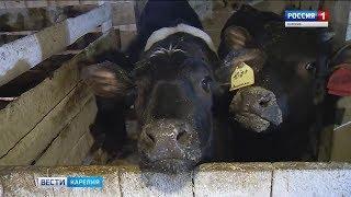 Молочное производство возрождается в Пудожском районе