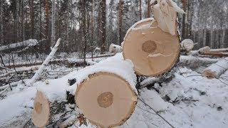 Чёрный лесоруб из Югры заплатит 50 миллионов рублей