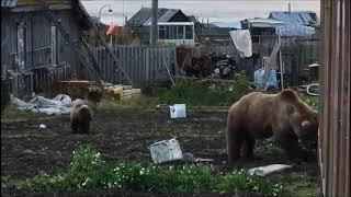 На Камчатке медведи проверили теплицу на даче и «унавозили» огород