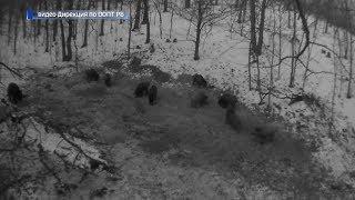 В Башкирии в объектив фотоловушки попались сразу 10 кабанов