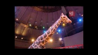 Поцелуй жирафа и вальс носорога в цирке