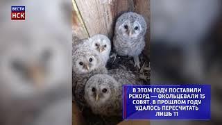 В Новосибирске окольцевали 15 редких совят