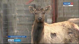 В Красноярском крае в дикую природу выпустили годовалых маралов