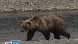 Медведи пришли в «Новую Весёлую»