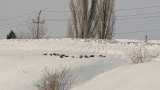 Куропатки даже в сильные морозы не покидают Мамаев курган