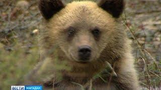 Медведи близ Магадана стали особо активны в августе