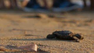 Возвращение черепах на Кипр