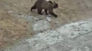 Полиция прогнала медведя с детской площадки в Печоре