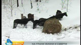 На грани жизни и смерти оказались лошади после ДТП с коневозом в Шелеховском районе