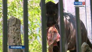 Необычное кормление организовали для хищников в Новосибирском зоопарке