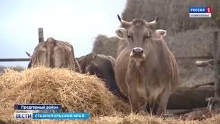 Ставропольское молоко: выпить или вылить?