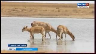 В Астраханской области возрождают популяции древнейшего вида