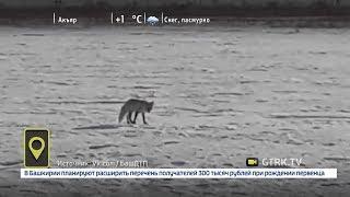 В Башкирии лисы стали выходить на дороги