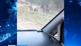 На Енисейском тракте снова встретили медведей