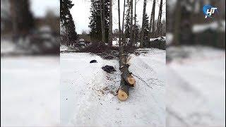 В Боровичском районе 7 летняя девочка погибла в результате падения дерева