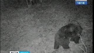 Медведь в Маркова съедает приманку из ловушки и уходит в лес