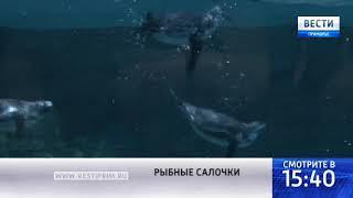 «Вести: Приморье»: Пингвиньи салочки устраивают в приморском океанариуме