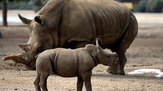 Пополнение в семье носорогов