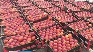 В Красноярске уничтожили очередную партию санкционных яблок