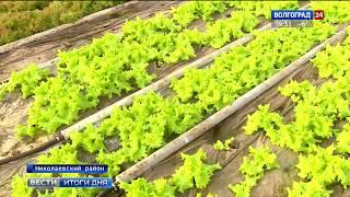 В Волгоградской области развивается промышленное производство салата