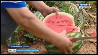 В Астраханской области поспели первые арбузы