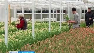 Калининградской области в преддверии 8 марта вырастили новые сорта цветов