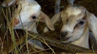 «Край аграрный». Лесная пасека и козы