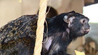 Детеныши колобуса родились в анапском зоопарке