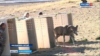 Аргали из Новосибирского зоопарка выпустили на волю в Горном Алтае
