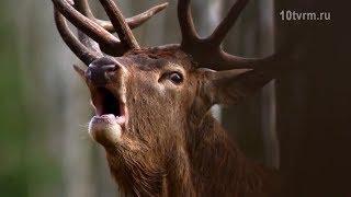 Лесохотохрана предупреждает о гоне оленьих