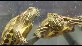 Танец черепах в квариуме жительницы Воронежа
