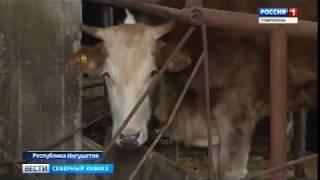 В Ингушетии проходит массовая вакцинация домашнего скота