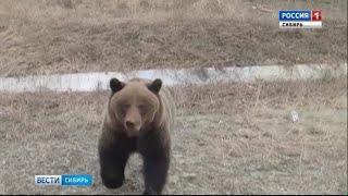 В Республике Алтай на видео попали медведи, переплывающие Телецкое озеро.