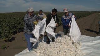 Первый урожай хлопка впервые за 60 лет собрали аграрии Ставропольского края