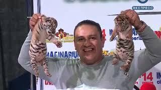 На гастролях в Пензе тигры из цирка-шапито обзавелись потомством